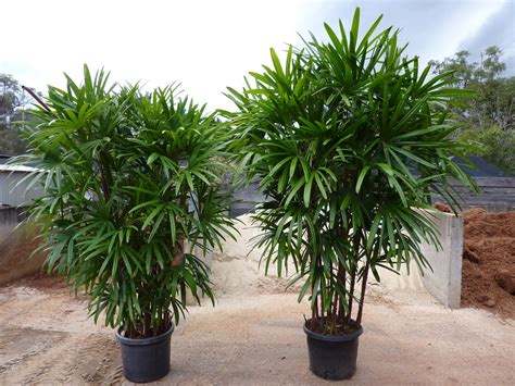 Rhaphis Palm   Outside Kitchen Window | Small tropical ...