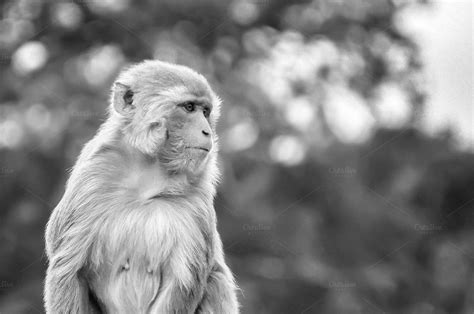 Rhesus Macaque Monkey Black & White ~ Animal Photos on ...