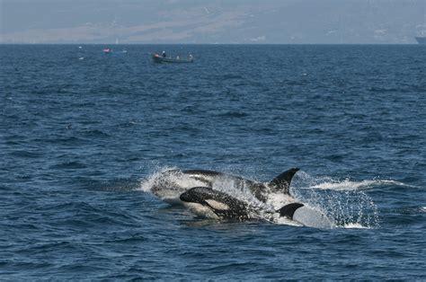 Ricardo Peralta. Fotógrafo de Naturaleza: Orca  Orcinus ...
