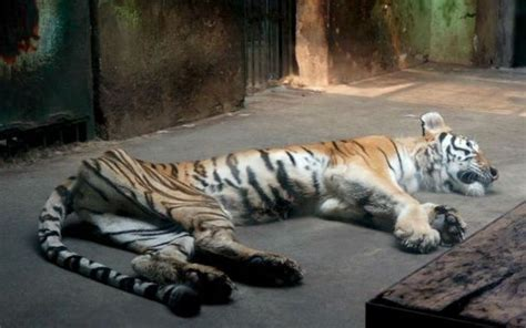 Ridiculously Thin Tiger   Animals