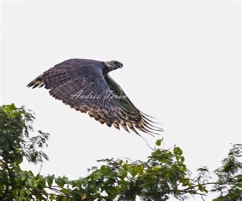 Rithka: Aguila Arpia En Ingles