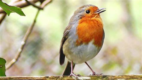 Robin Birds Chirping and Singing   Relaxing Video, Bird ...