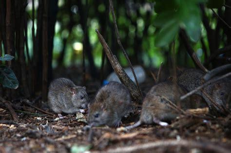 Rodents Run Wild in Paris. Blame the European Union.   The ...