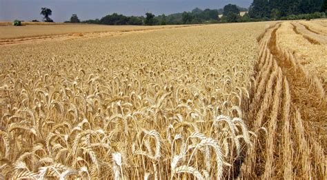 Rokenyl 50 para cultivos de trigo