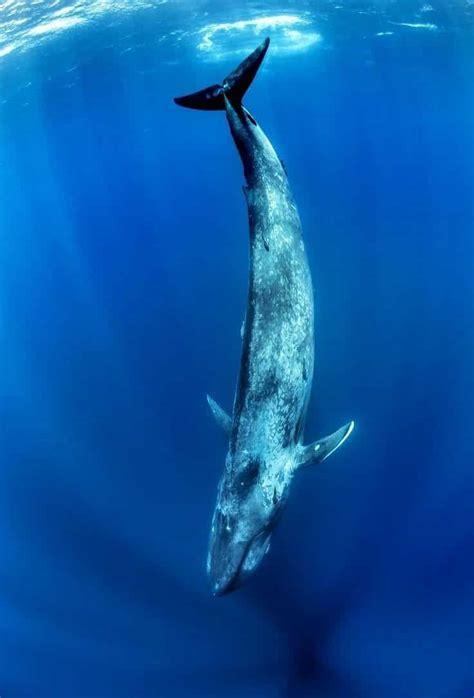 RORCUAL » El segundo mamífero marino más grande del mundo
