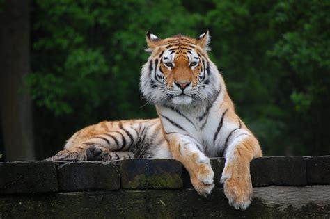 Royal Bengal Tiger Bangladesh National Animal – Wallpapers9