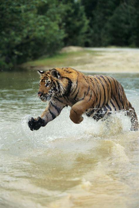 Royal Bengal Tiger, Sundarbans   UNESCO World Heritage ...