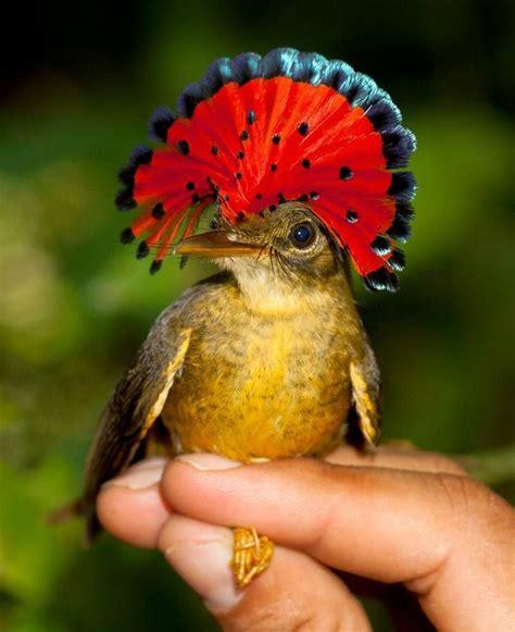 Royal Flycatcher. Es su nombre científico y es una ave ...