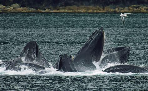 ️ ¿Qué comen las Ballenas?   of whale...