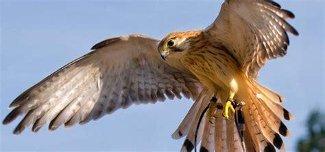 SA   Kangaroo Island Birds of Prey   Travel Oz