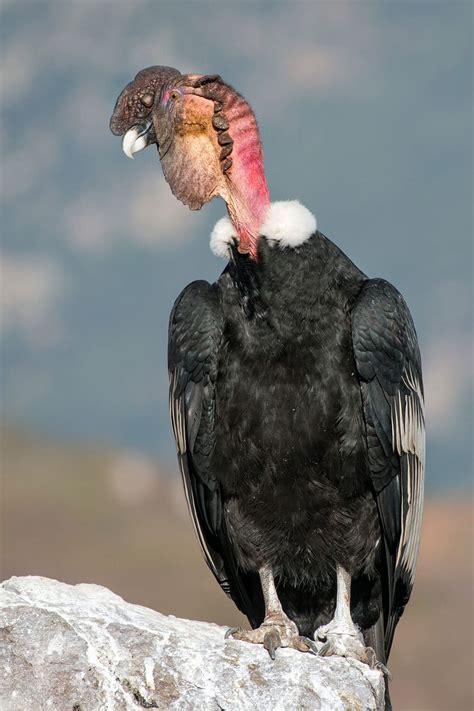 ¿Sabe cuál es el ave nacional de Colombia? Descubrelo aquí