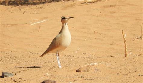 ¿Sabes qué aves dan vida al Sahara?