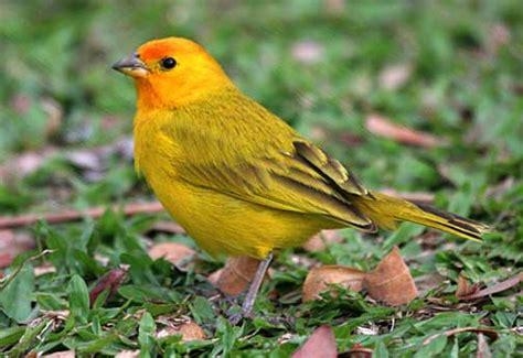 Saffron finch. Sicalis flaveola.   Birds of Kaloko ...