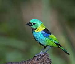 SAÍRA SETE CORES  Tangara seledon  | Beautiful birds ...