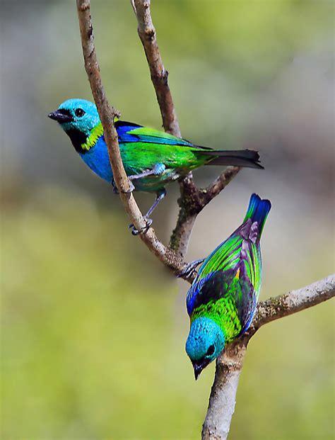 Saíra sete cores   Tangara seledon   Green headed Tanager ...