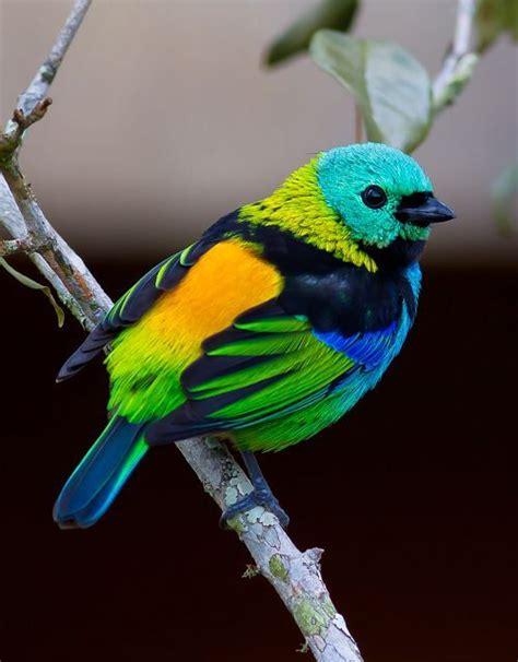 Saíra sete cores  Tangara seledon  | Pássaros coloridos ...