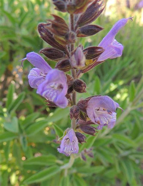 salvia. http://www.elhogarnatural.com/aromaticas.htm ...