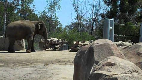 San Diego Zoo Elephant Odyssey   YouTube