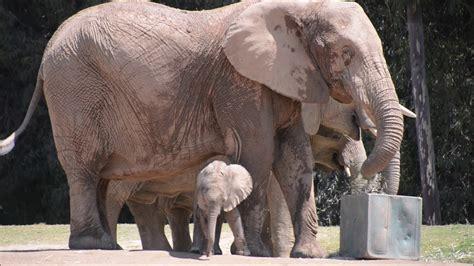 San Diego Zoo Safari Park ~ 8.19.2018 ~ Meet the Baby ...
