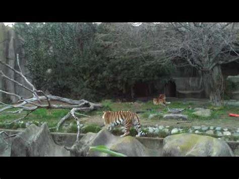 San Francisco Zoo Tiger s Tatiana   YouTube