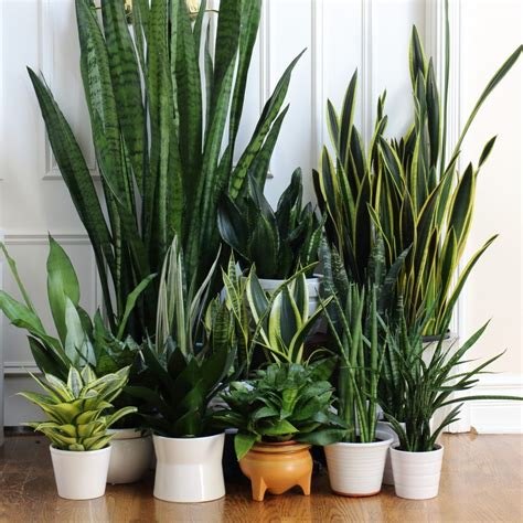 Sansevieria Collection  snake plants!    via Darryl Cheng ...