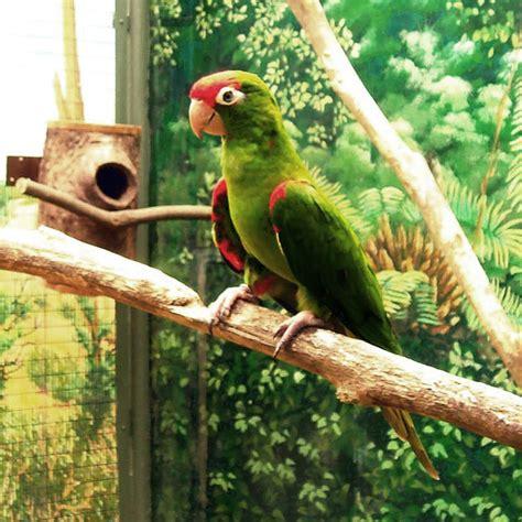 Scarlet fronted parakeet   Wikipedia
