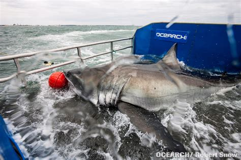 Scientists Track a Great White Shark Across the Atlantic ...
