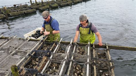 Scientists working with oyster farmers to tackle POMS this ...