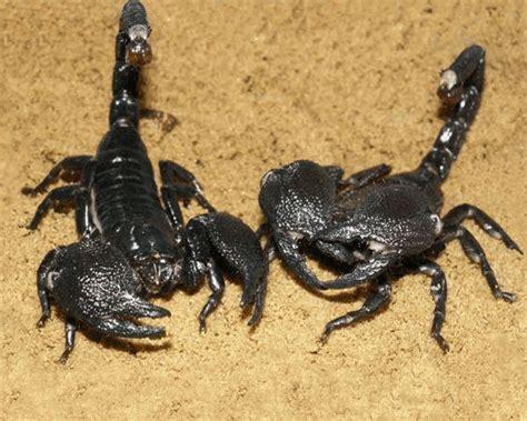 Scorpion   The Biggest Animals Kingdom