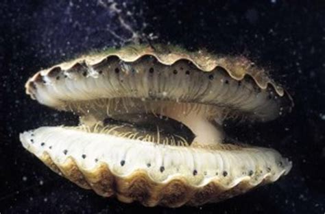 Sea Mollusks   Poisonous And Edible Mollusks