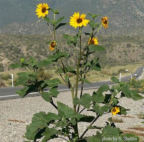 Seeds > Sunflowers | Native Seeds Search