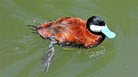 Seis aves exóticas invasoras que se pueden observar en España