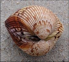Selected Images Of Western Atlantic Bivalves