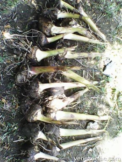 Semilla de plátano en Ocumare del Tuy