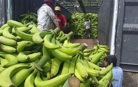 Semilla de plátano será reproducida en laboratorios ...