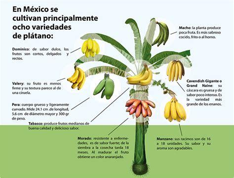 Semillas De Arbol De Platano Guineo Manzano De Tabasco ...