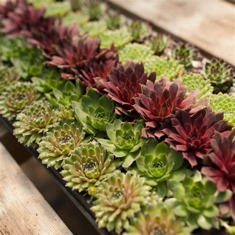 Sempervivum | Garden, Indoor Plants + Floral, Outdoor ...