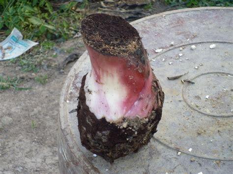 SENAPRENDIZ: Semilla de Plátano certificada