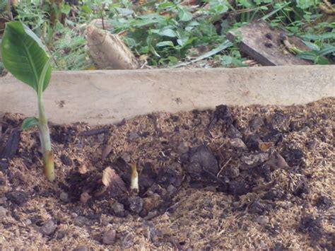SENAPRENDIZ: semilla de platano