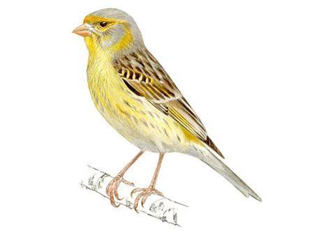 Serín canario | SEO/BirdLife | Desenhos