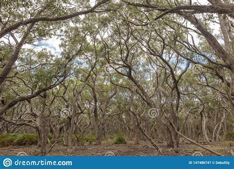 Shade Providing Vegetation Of An Australian Sclerophyl ...