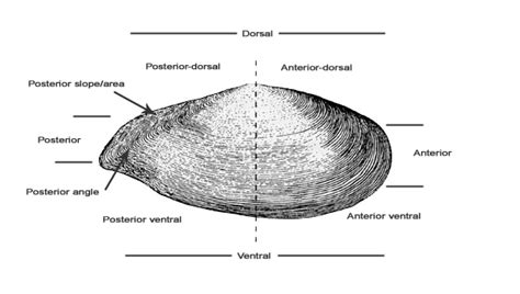Shell Structures | Marine Bivalve Shells of the British Isles