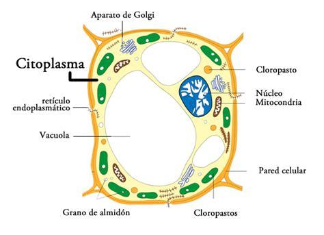 Significado de Citoplasma  Qué es, Concepto y Definición ...