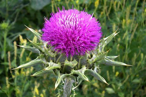 Silybum marianum | Flores | Fitoterapia, Plantas ...