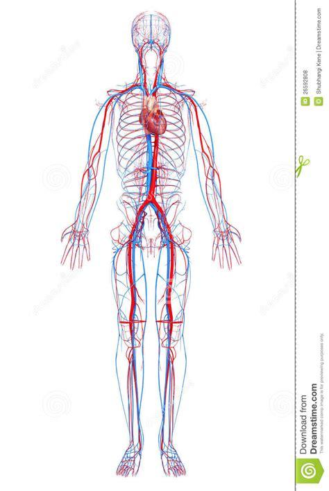 Sistema Circulatório Do Corpo Masculino Fotos de Stock ...