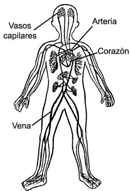 Sistema circulatorio para niños de inicial   Imagui ...