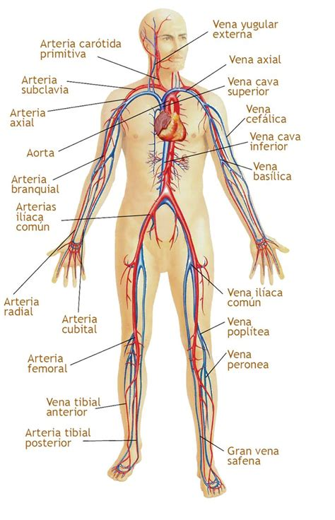 Sistema circulatorio Partes