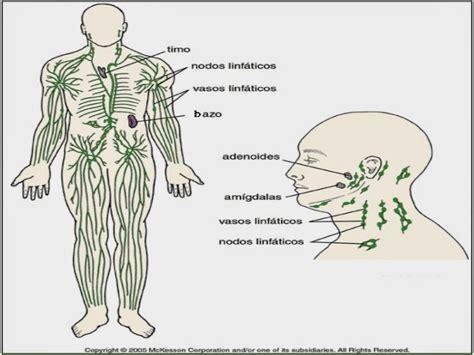Sistema Circulatorio: Sistema Linfático