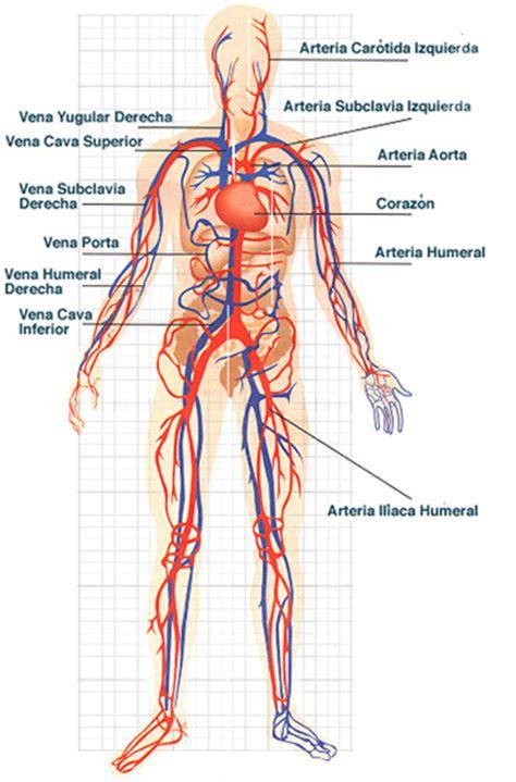 Sistema circulatorio   Tendenzias.com