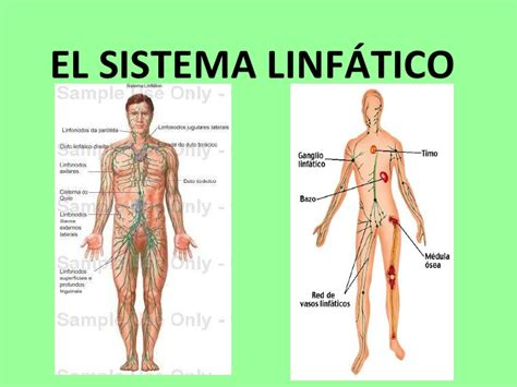 Sistema linfático del ser humano: 2016